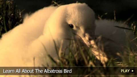 Learn All About The Albatross Bird